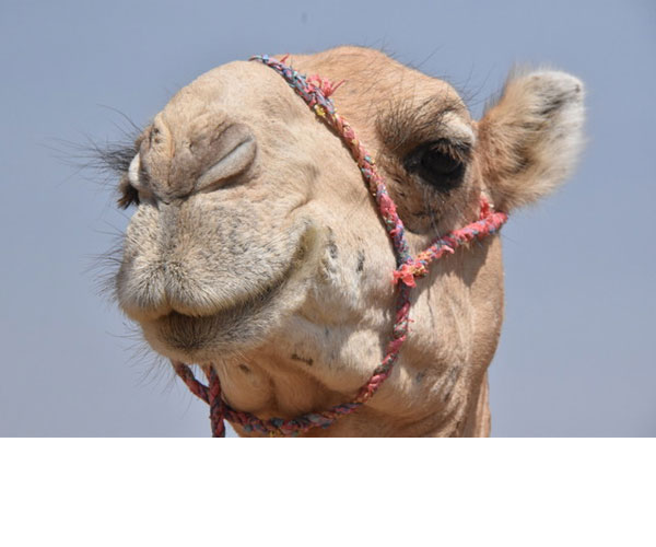 A close-up of one of the camels